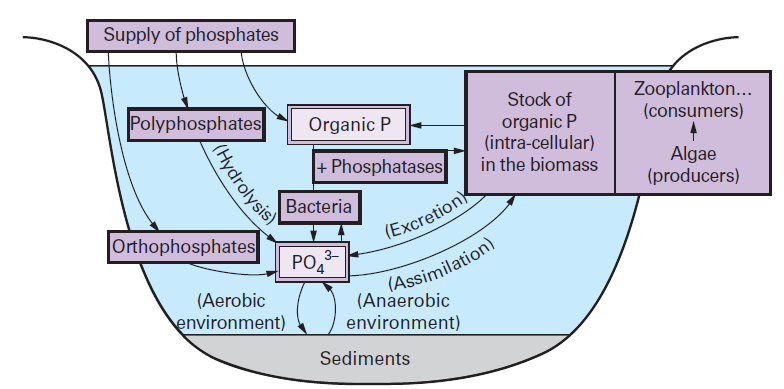 Phosphorus cycle simple explanation. Science for Kids ...