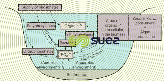 Aquatic phosporus cycle